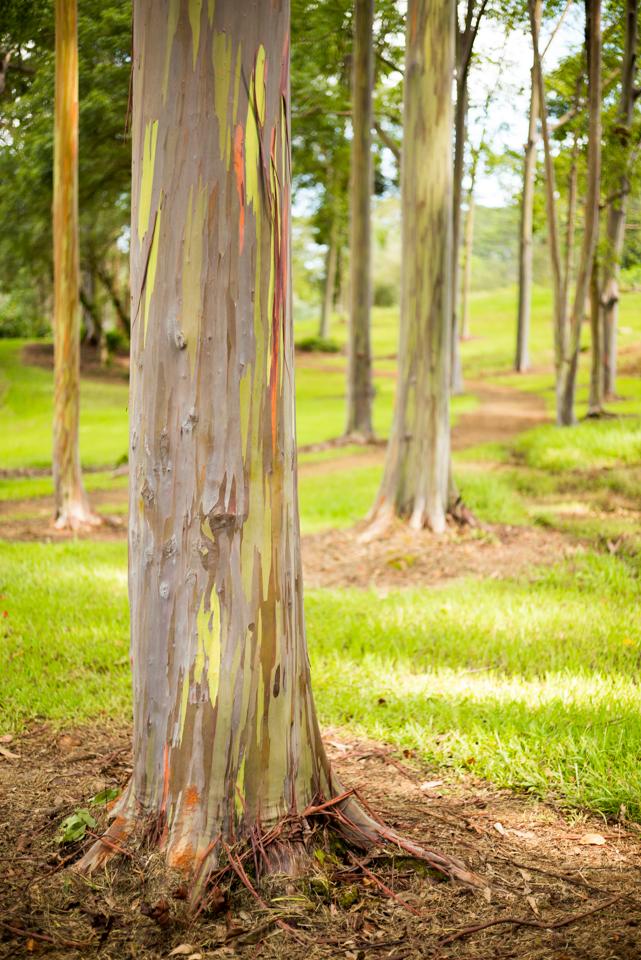 wpid4497-Eucalyptus-Tree-02-140906.jpg